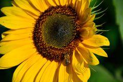 Sonnenblume 18
