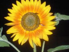 Sonnenblume ....