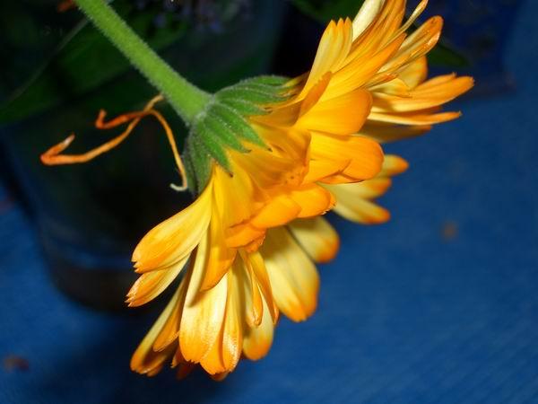 ..Sonnenblume,,