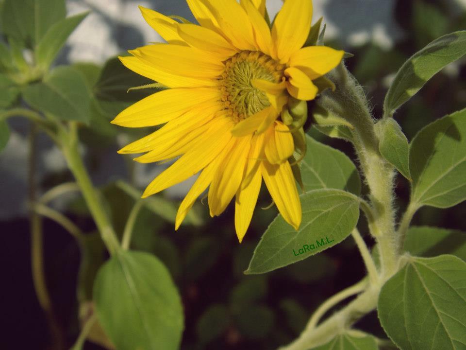 Sonnenblume 2