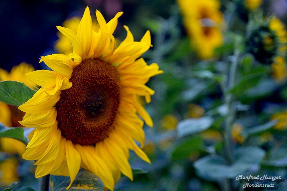 Sonnenblume 2017 (1)