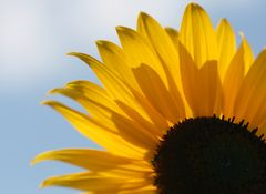 Sonnenblume #3