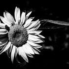 Sonnenblume #5 s-w edition