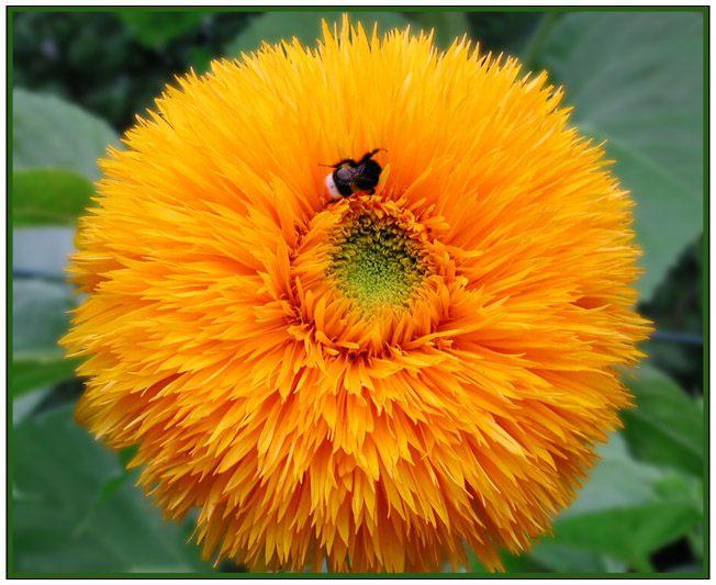 Sonnenblume...
