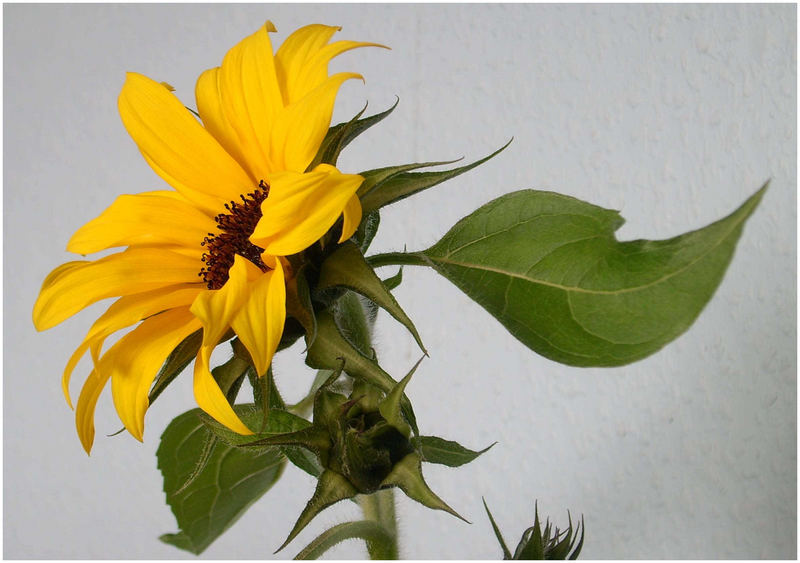 ~ Sonnenblume ~