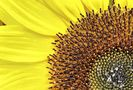 Sonnenblume von d3rkn1ps4
