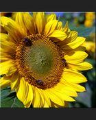 Sonnenblume als Arena