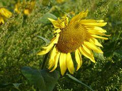 Sonnenblume am Morgen