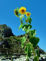 Sonnenblume - Annäherung an ein Phänomen  / Girasole - approccio a un fenomeno  (1)