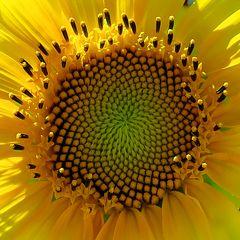 Sonnenblume - Annäherung an ein Phänomen  / Girasole - approccio a un fenomeno  (4)