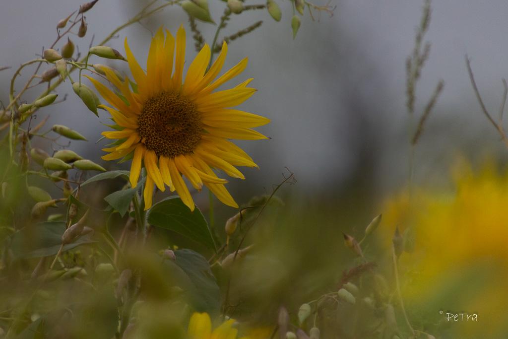 Sonnenblume auf Bienenwiese