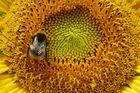 Sonnenblume bei Lauenberg,17.08.2013