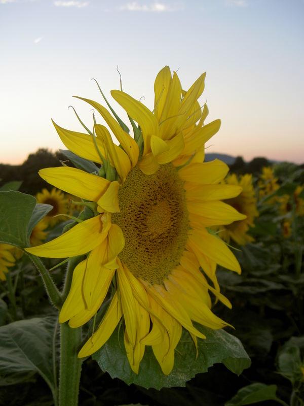 Sonnenblume bei Sonnenuntergang