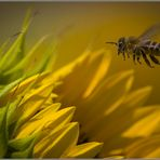 Sonnenblume bekommt Besuch