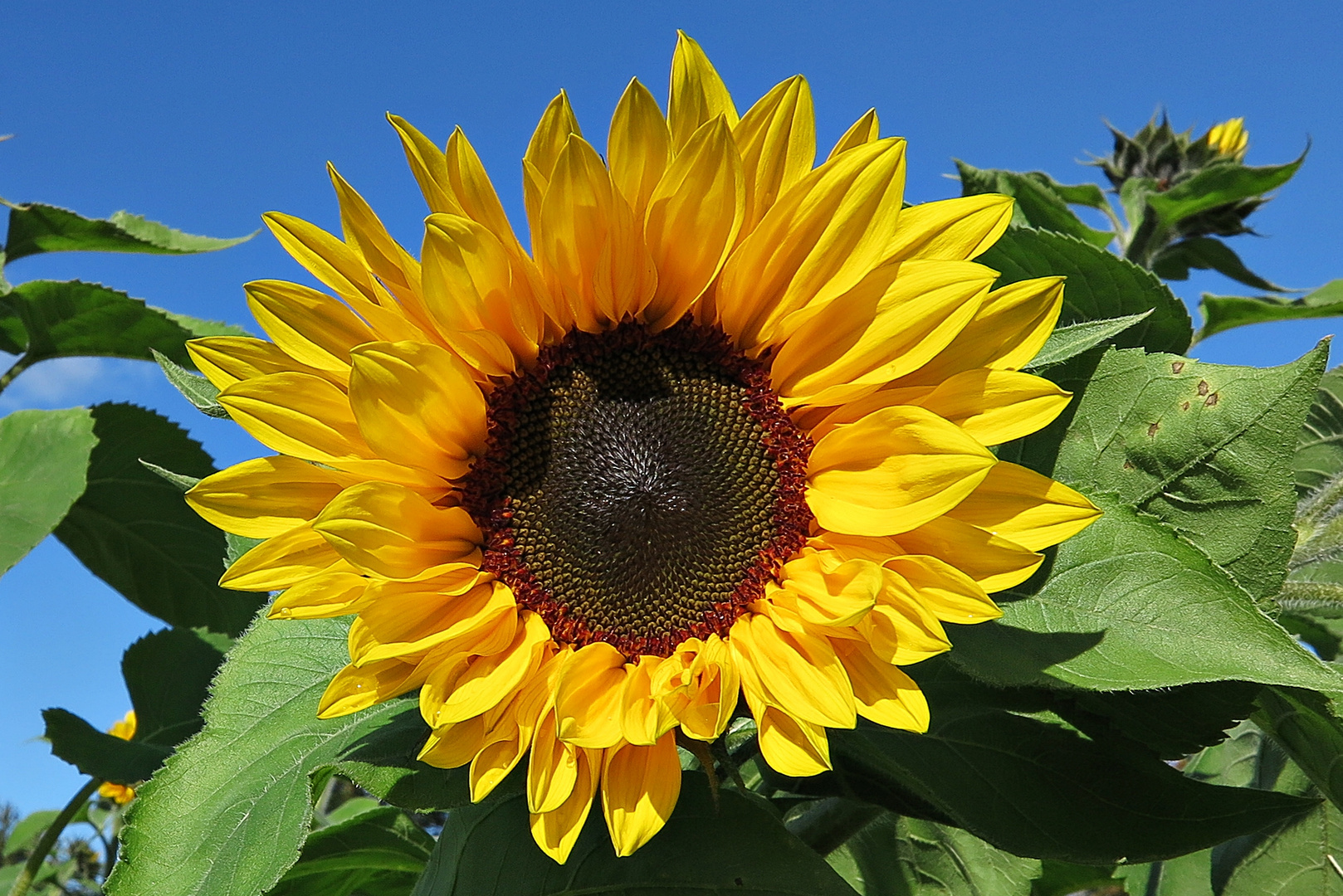 Blütezeit Sonnenblumen
