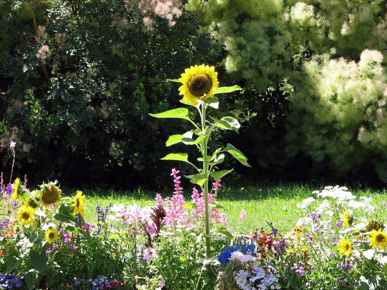 --Sonnenblume--