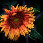 - Sonnenblume -