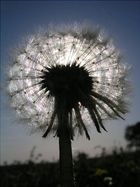Sonnenblume?