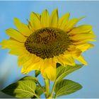 Sonnenblume....