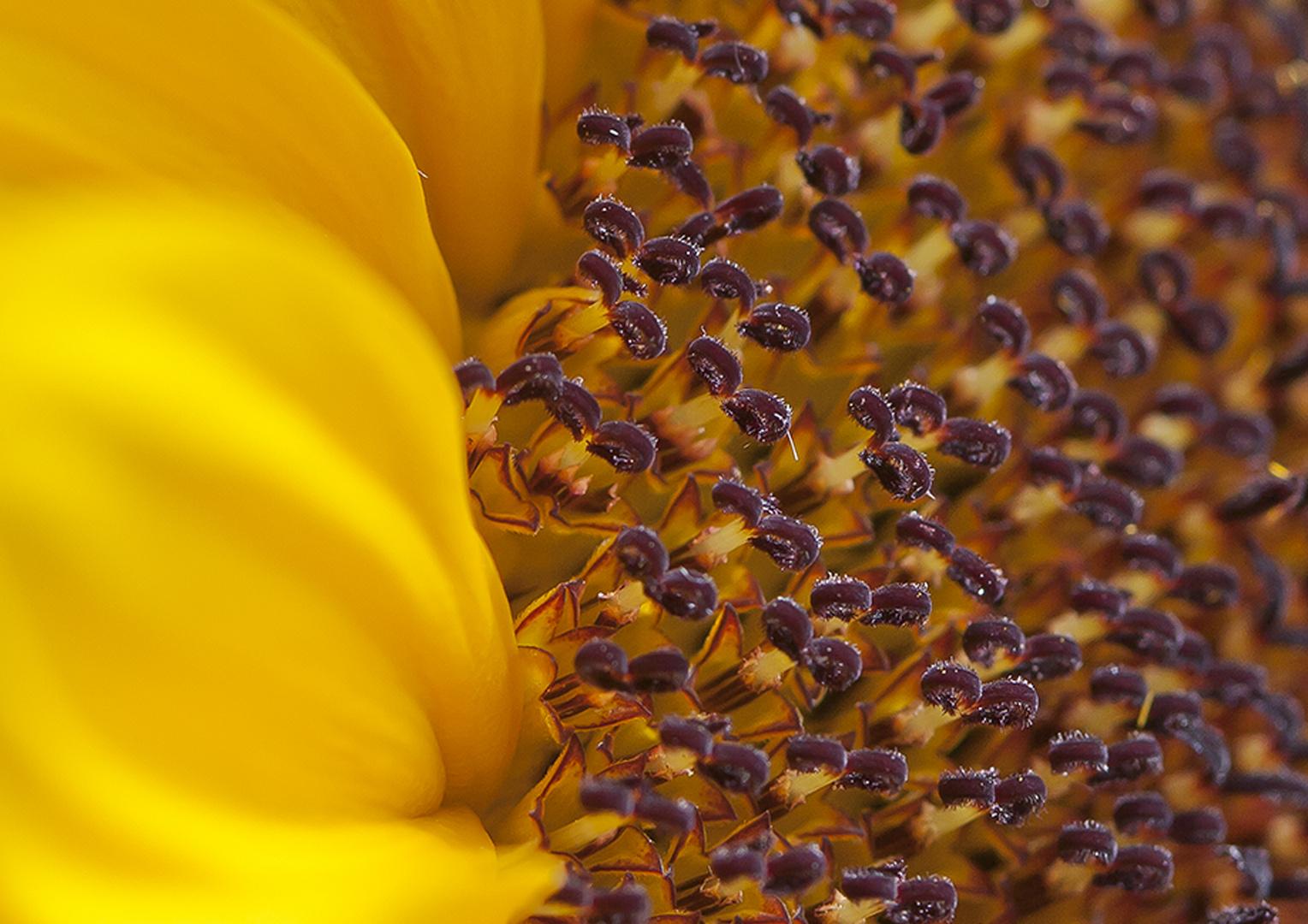 Sonnenblume Detail