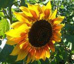 Sonnenblume die der Sonne den Rücken zukehrt