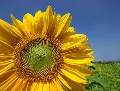 Sonnenblume Die Farbe Gelb 2