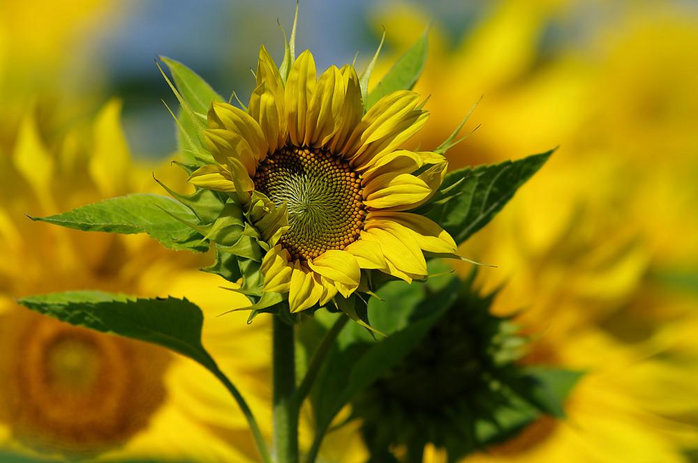 Sonnenblume Die Farbe Gelb