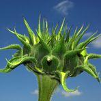 Sonnenblume - Die Geburt