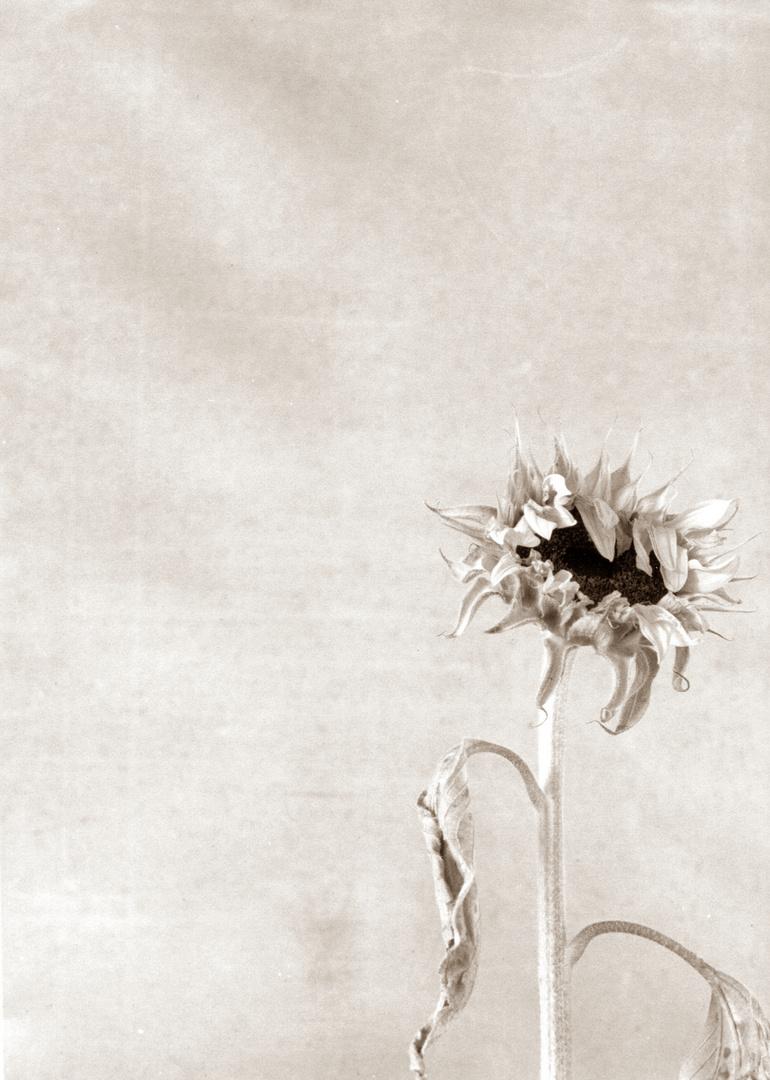 Sonnenblume die zweite