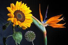 Sonnenblume, Distel, Strelizia