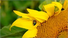 ... Sonnenblume ...