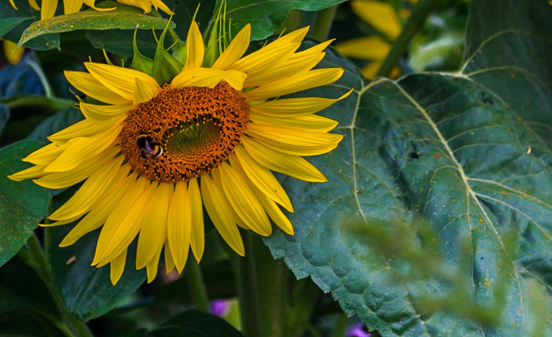 Sonnenblume hat Besuch