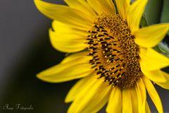 Sonnenblume - heute von der Seite