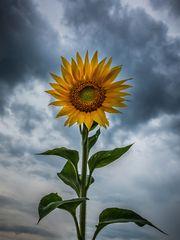 Sonnenblume II