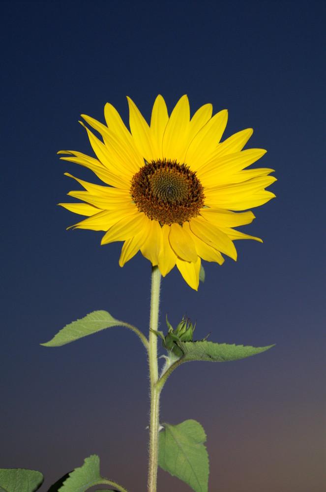 Sonnenblume im Abendhimmel
