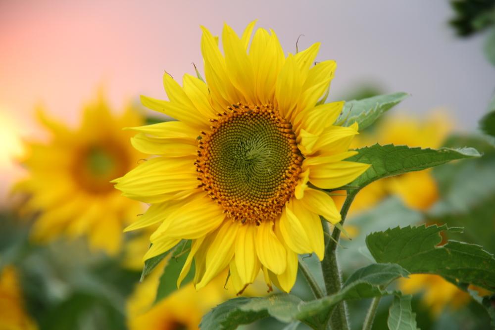 Sonnenblume im Abendlicht 2