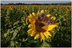 Sonnenblume im Abendlicht ...