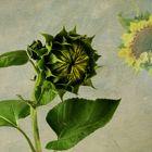 Sonnenblume im Aufbruch