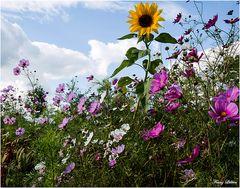Sonnenblume im Blumenmeer