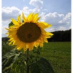 Sonnenblume im Licht