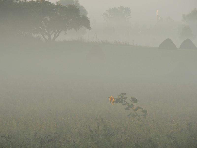 Sonnenblume im Morgennebel vor Kreuz