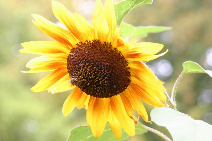Sonnenblume im Oktober