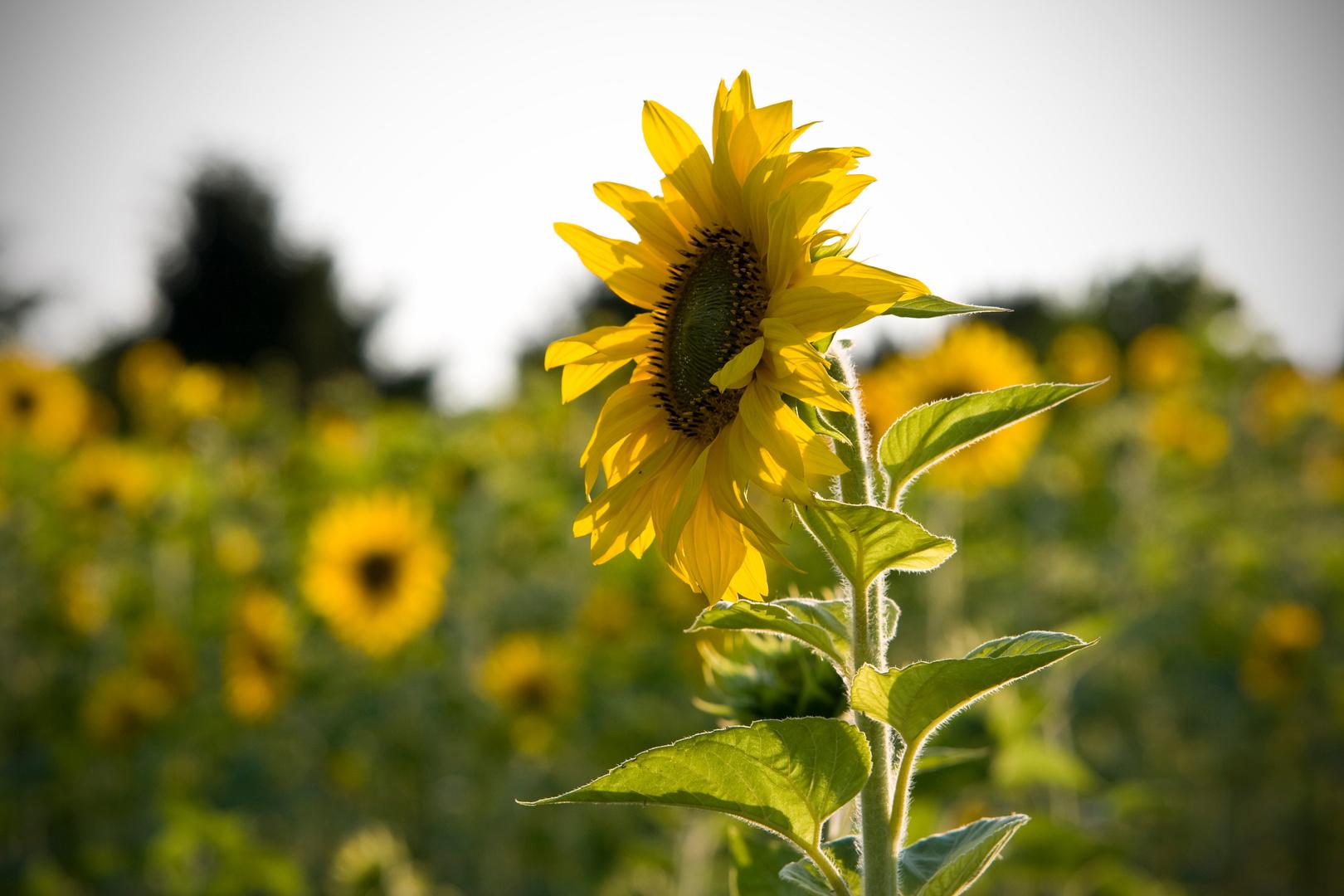 Sonnenblume im Spätsommer