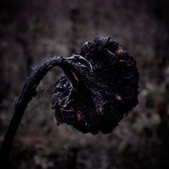 Sonnenblume im Trauer
