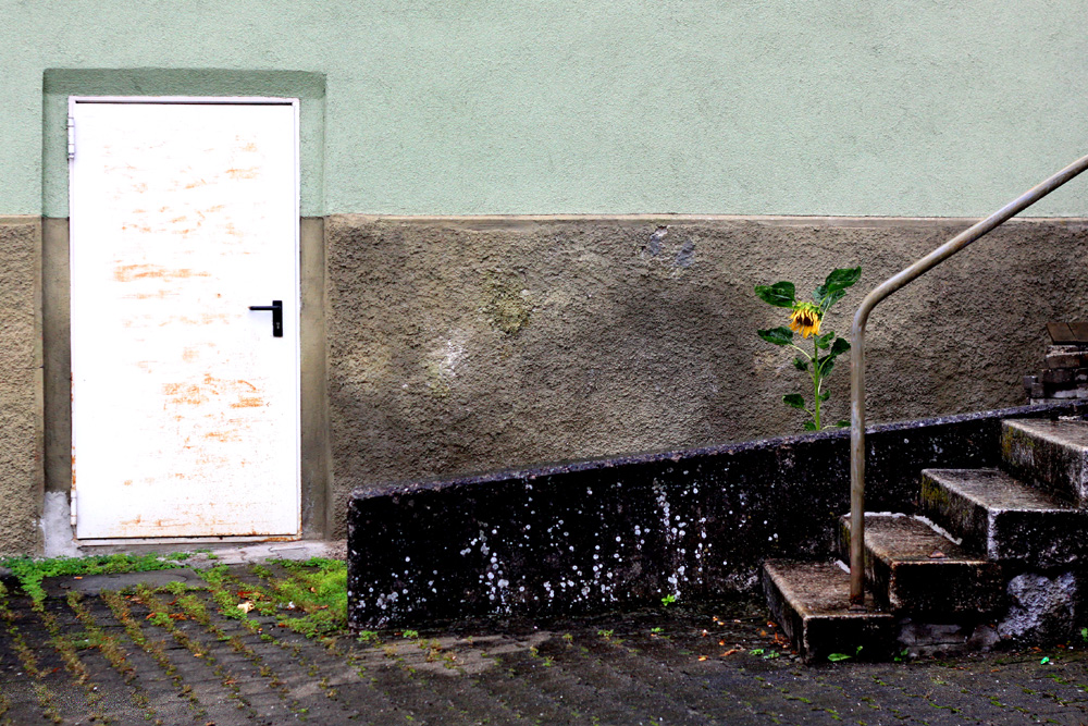 Sonnenblume im verregneten Hinterhof