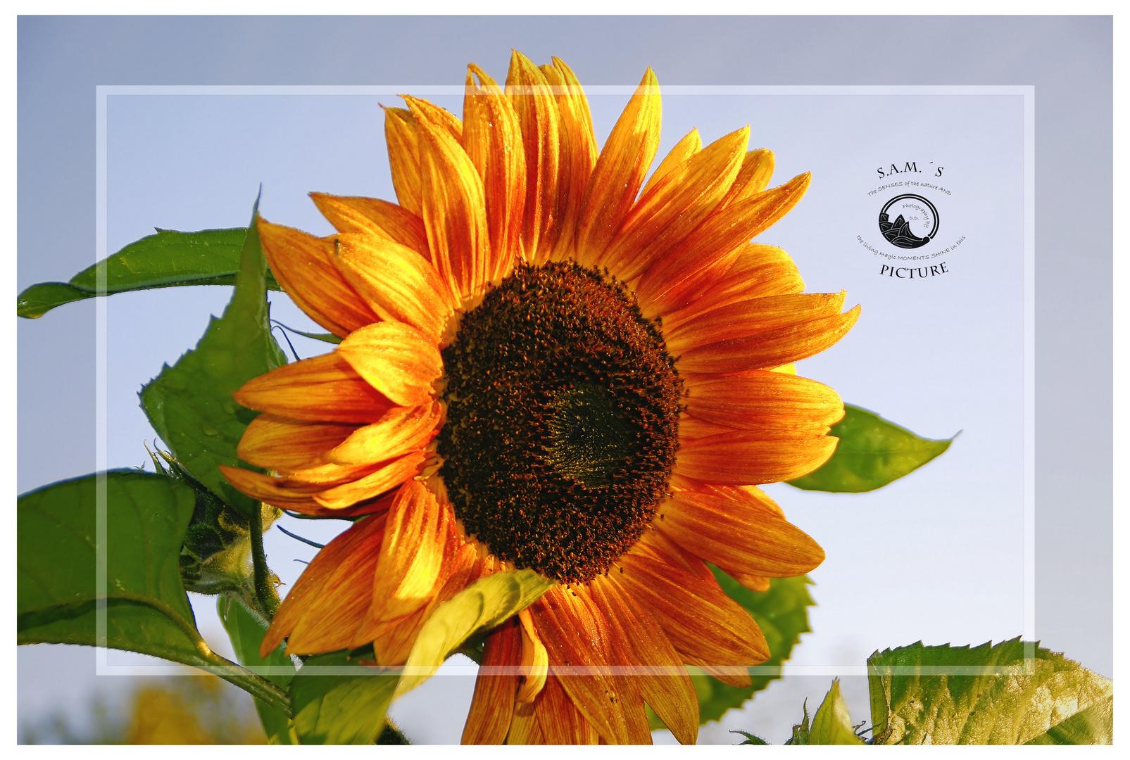 - Sonnenblume in Braun -