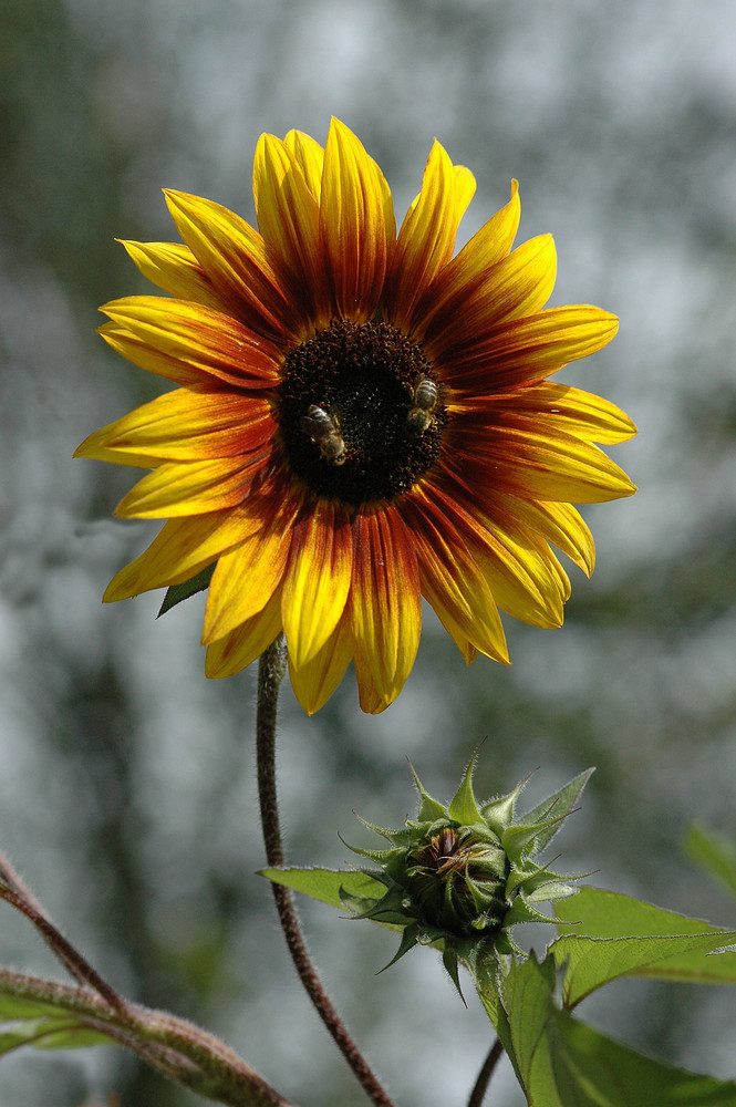 Sonnenblume in einem besonderen Licht