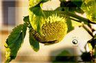 - Sonnenblume in Grün 2 -