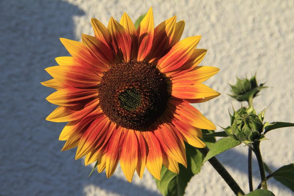 Sonnenblume in Hessen