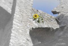 Sonnenblume in Stein